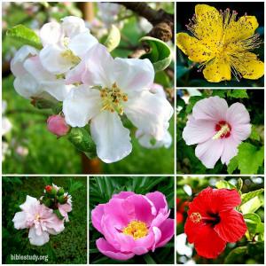 Does Rose Of Sharon Symbolize Jesus